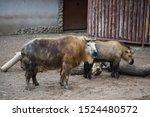 a pair of takin animals ... | Shutterstock . vector #1524480572