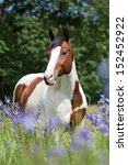 Portrait Of Nice Paint Horse I...