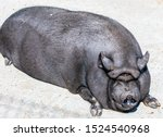 Big Fat Black Pig Sitting On...