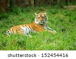 tiger in grass | Shutterstock . vector #152454416