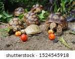 Stock photo  close up baby african spurred tortoise resting in the garden slow life africa spurred tortoise 1524545918