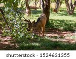 Deer Family Eating Apples In...
