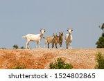 Australian Feral Goats On Hill