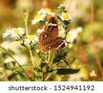 Lovely Buckeye Butterfly...