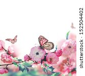 Stock photo pink flower of an oriental cherry and butterfly 152504402