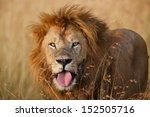 Big Lion After Yawning With Hi...