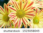Yellow Gazania Or Treasure...