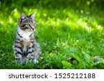 Stock photo  gray brown striped kitten with a white breast on a green grass background little cute kitten 1525212188