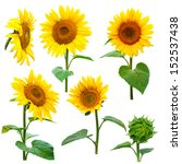 sunflowers collection on the... | Shutterstock . vector #152537438