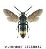 Wasp scolia asiella  male  on a ...