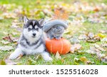 Stock photo funny kitten in a warm hat sitting near a husky puppy on a pumpkin in autumn park 1525516028