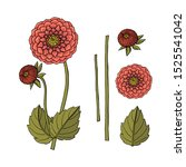 hand drawn dahlia flower.... | Shutterstock . vector #1525541042