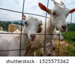 young goats on a fram fenced in ... | Shutterstock . vector #1525575362