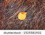 Single Wet Autumn Birchen Leaf...