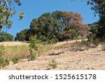 Half Dead Giant Oak Tree On To...