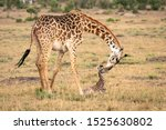 Stock photo a mother giraffe bends down to care for her newborn calf image taken in the maasai mara national 1525630802