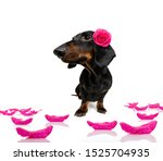 Sausage Dachshund Dog   With A...