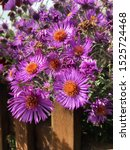Small photo of beautiful bush of flowers on a sunny day growing in a cottage garden/pink aster behind a wooden stockade on a warm autumn day/ beauty of nature