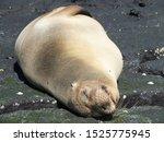 Cute Seal Sleepy Playing...