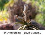 Female Meerkat On Sentry Duty ...