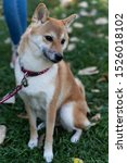 Small photo of A Fox-like dog is a Shiba Inu. Charming dog with plush fur and wayward character on a walk in the autumn Park.