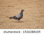 Pigeon On The Ground Looking...