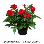 Red Rose Flowers In A Pot...