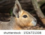 Stock photo patagonian mara dolichotis patagonum also known as the patagonian cavy patagonian hare or 1526721338