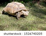 Stock photo the aldabra giant tortoise is eating a long blade of graa 1526740205