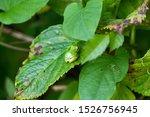 Japanese Tree Frog   Hyla...