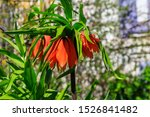 Orange Crown Imperial Lily...