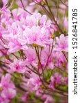 Purple flower of bee azalea...
