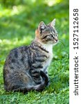 Stock photo  gray brown striped kitten with a white breast on a green grass background little cute kitten home 1527112658