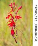 Scarlet Red Cardinal Flower...