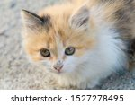 Stock photo a little fluffy kitten sits on the ground and looks at the camera newborn tricolor kitten red 1527278495