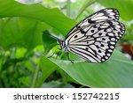 Butterfly  Idea Leuconoe  On...