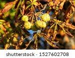 Horse Chestnut  Latin Aesculus...