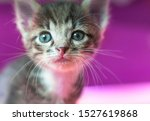 Stock photo little kitten is looking up striped gray kitten with blue eyes looks up enthusiastically 1527619868