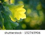 Oak Green Young Leaves Close U...