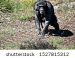 The Chimpanzees Mother Is...