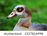 Head Shot Of A Egyptian Goose.
