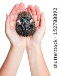 Hands Holding Hedgehog Curled...