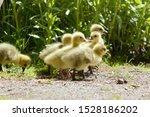 A single Canada Goose/Emden Goose hybrid gosling amongst a group of Canada Goose (Branta canadensis) goslings.