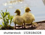 A pair of Canada/Emden Goose hybrid goslings standing side by side