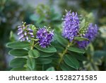 Hebe Plants With Violet ...