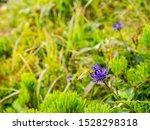 Blooming Blue Flower  Phyteuma...