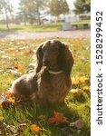Stock photo dachshund dog sitting on the grass in autumn park 1528299452