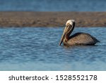 A Brown Pelican Floating In A...