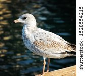 Stock photo a closeup shot of a herring gull standing on a wooden surface with a blurred sea in the background 1528554215