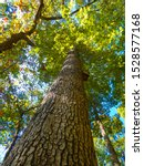 View Of A White Oak Tree With...